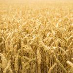 Pšenice prababička: Špalda