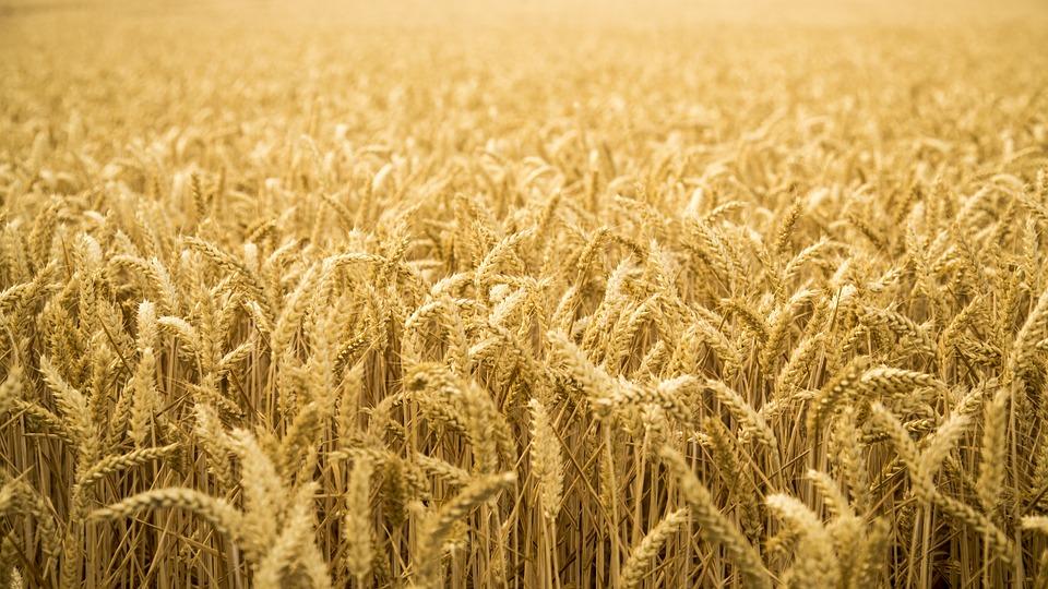 Špalda je prastará odrůda pšenice s vyšším obsahem živin