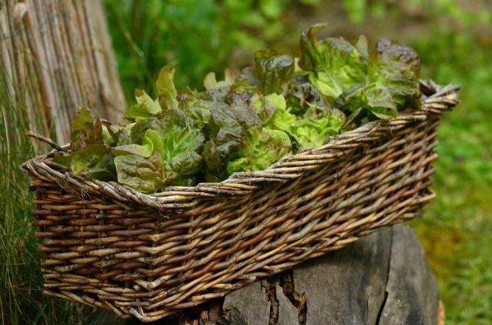 Listové saláty jsou živinová bomba