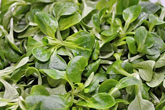 Salát polníček má drobné zelené listy ideální do salátu