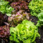 Listové saláty: pořádné živinové bomby